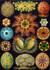 Ascidiacea from Ernst Haeckel's ''Kunstformen der Natur'' (1899)